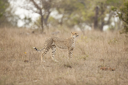 Cheetah | South African Safari | Luxury African Safari | Ker Downey