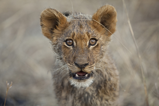 Lion cub | South Africa | South African Safari | Luxury Africa Safaris | Ker Downey