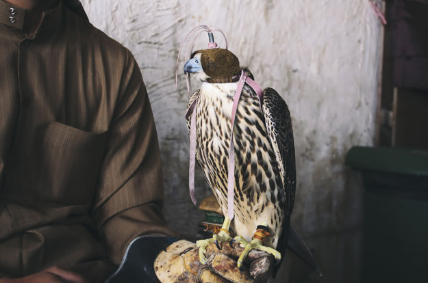falconry at souq waqif
