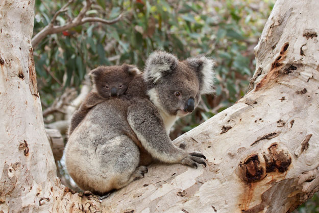 Australia Bucket List | Koala | Luxury Australia Travel | Ker Downey