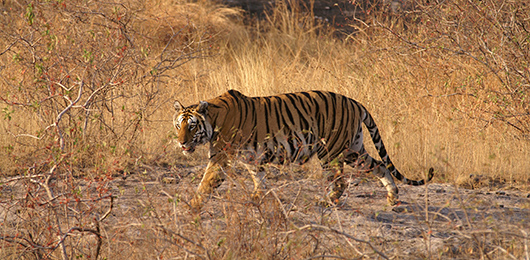 Big Cats of India