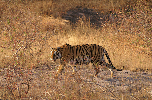 Luxury Tiger Safaris | India Tiger Safaris | Ker Downey