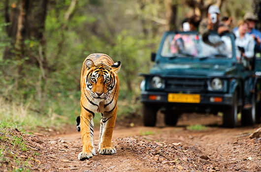luxury-tiger-safaris-india-tiger-safaris-ker-downey-walk