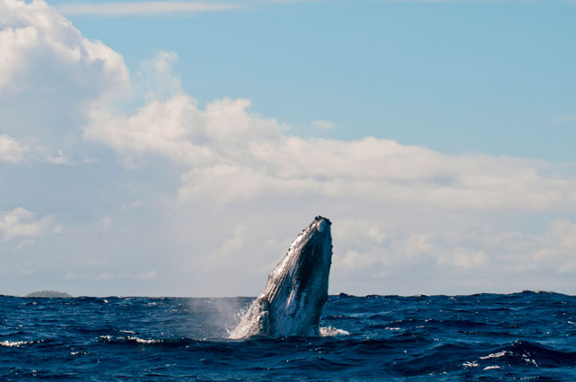 Tonga Humpback Whales | Luxury Cruise |MV Tarquin | Ker Downey
