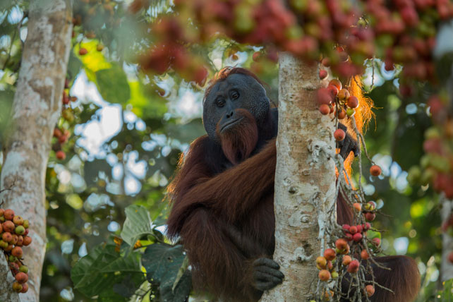 Luxury Primate Safaris | Borneo | Ker Downey