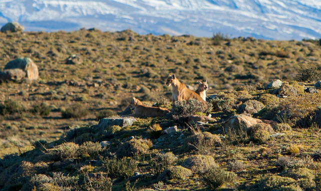 A Patagonia Safari: In Search of the Elusive Puma