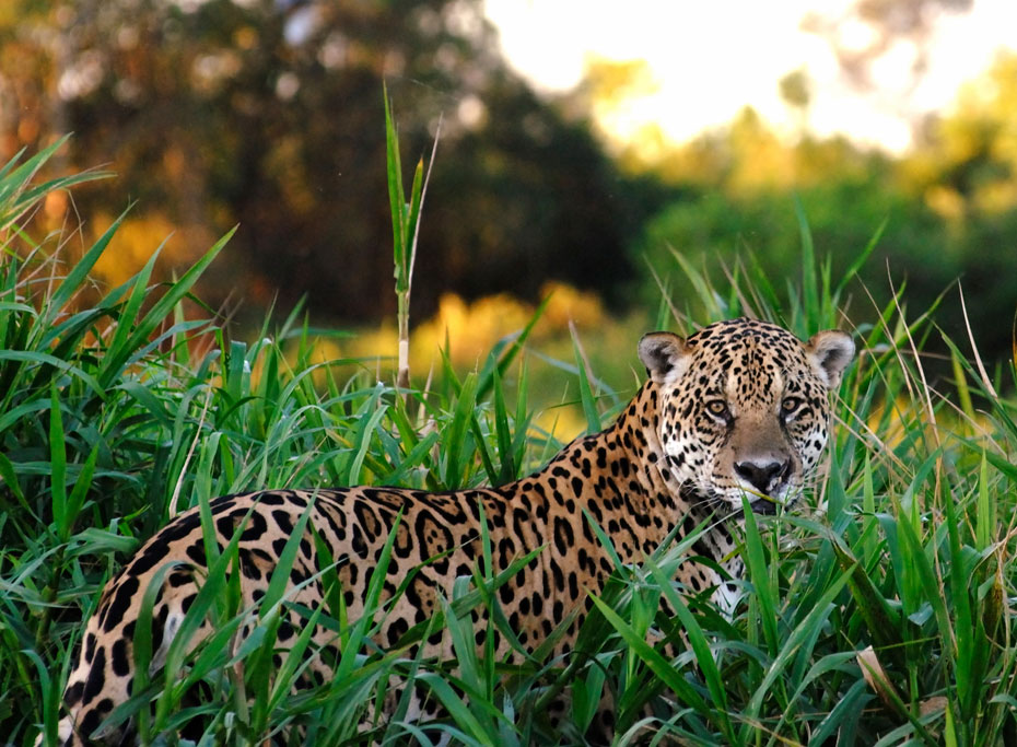 Safaris around the World - Luxury Safaris - Ker Downey - Jaguar Safari in the Pantanal